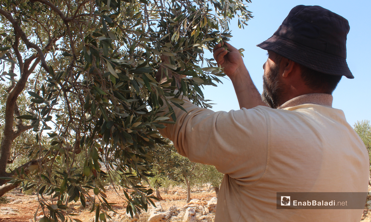 Daily workers harvest olives in one of the fields in Idlib - 16 October 2020 (Enab Baladi / Iyad Abdel Jawad)