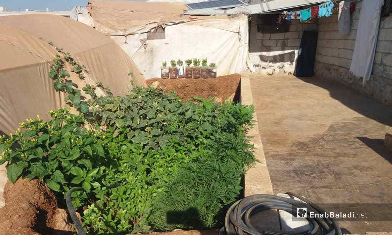 Saplings planted between the tents in Kafr Lusin in northern Idlib countryside - September 2020 (Enab Baladi)