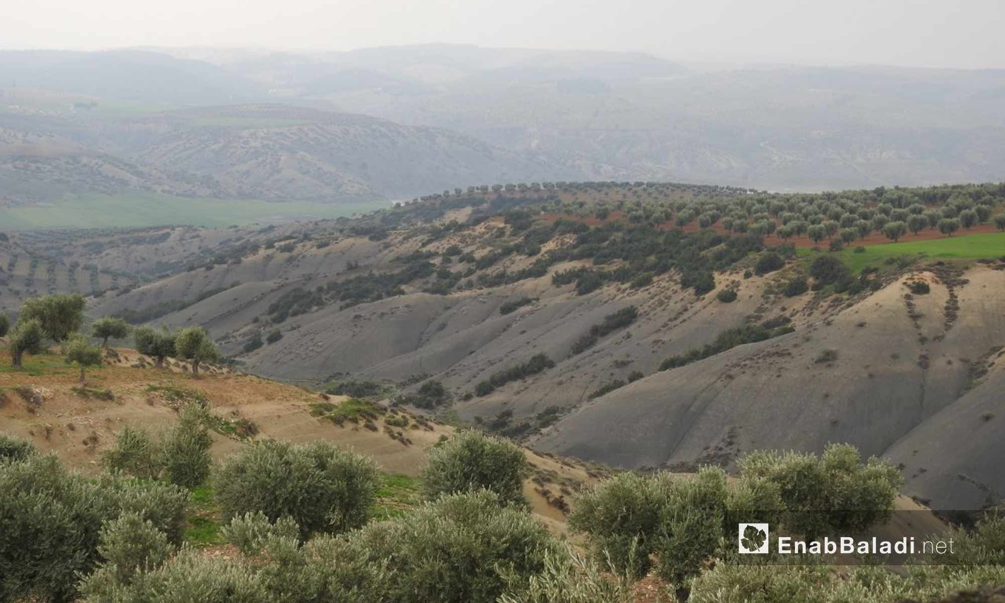 Large areas of olive trees in the countryside of Afrin - 2 March 2018 (Enab Baladi)