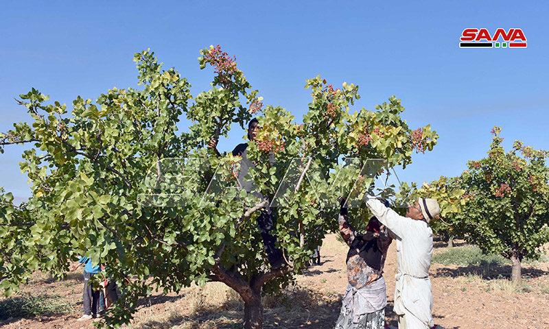 Pistachio harvesting in Syrian regime-held areas (SANA)