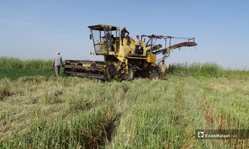 A harvester in the northern countryside of Aleppo harvesting barley - 30 May (Abdussalam Majaan / Enab Baladi)