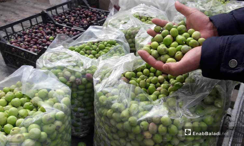 Olive harvest in Raqqa province – December 2020 (Enab Baladi)