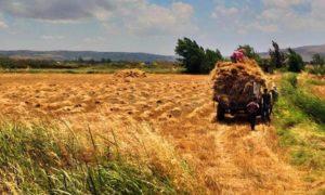 Farmers harvesting wheat in rural Homs – 2020 (SANA)