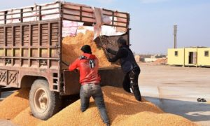 Farmers unloading maize from the trailer to transport to the grain drying center in Raqqa - November 2020 (Hawar News Agency)