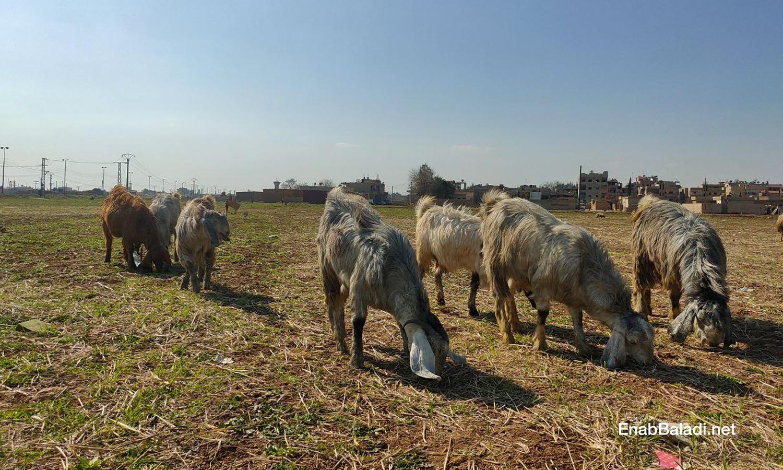 A flock of goats in the southern countryside of al-Qamishli - 15 February 2021 (Enab Baladi / Majd al-Salem)