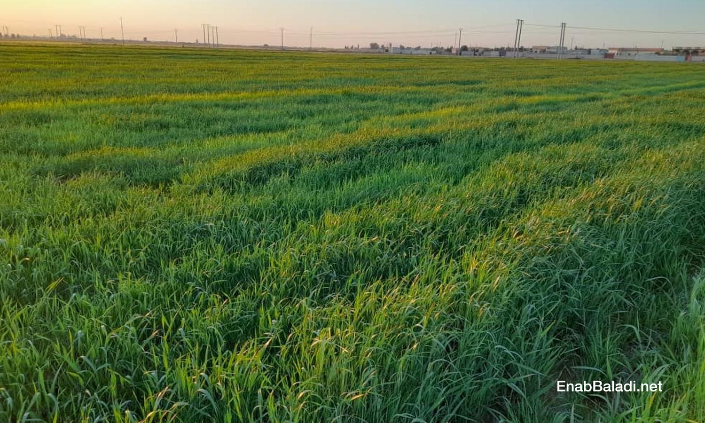 Wheatfields in the countryside of Raqqa - March 2021 (Enab Baladi / Hussam al-Omar)