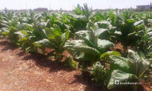 Tobacco crop in the western countryside of Daraa - 20 June 2019 (Enab Baladi - Halim Muhammad)