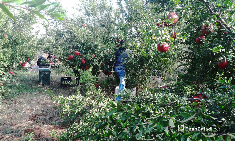 A man collecting pomegranates from groves in Daraa's western countryside — 6 November 2020 (Enab Baladi / Halim Muhammad)