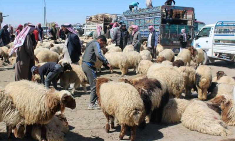 Livestock market in al-Haddadiyah town in al-Hasakah (North Press Agency)