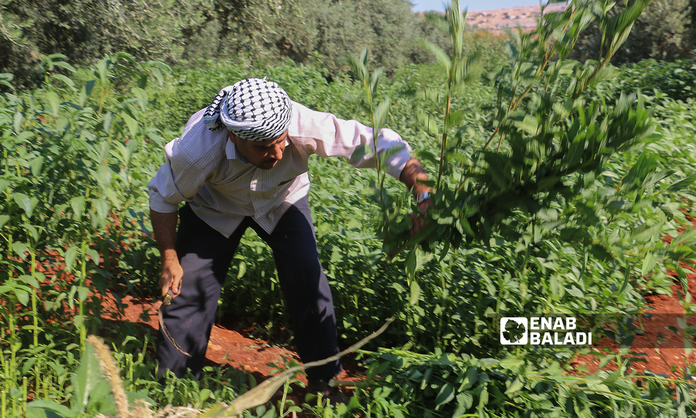 A Syrian man harvesting mulukhiyah plants with a scythe in Idlib countryside - 2 August 2021 (Enab Baladi / Iyad Abdul Jawad)