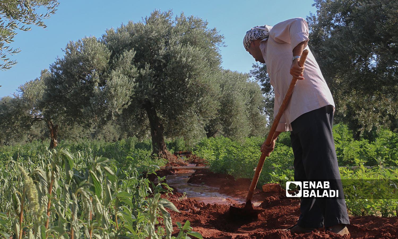 The harvesting of mulukhiyah plants in Idlib countryside - 2 August 2021 (Enab Baladi / Iyad Abdul Jawad)