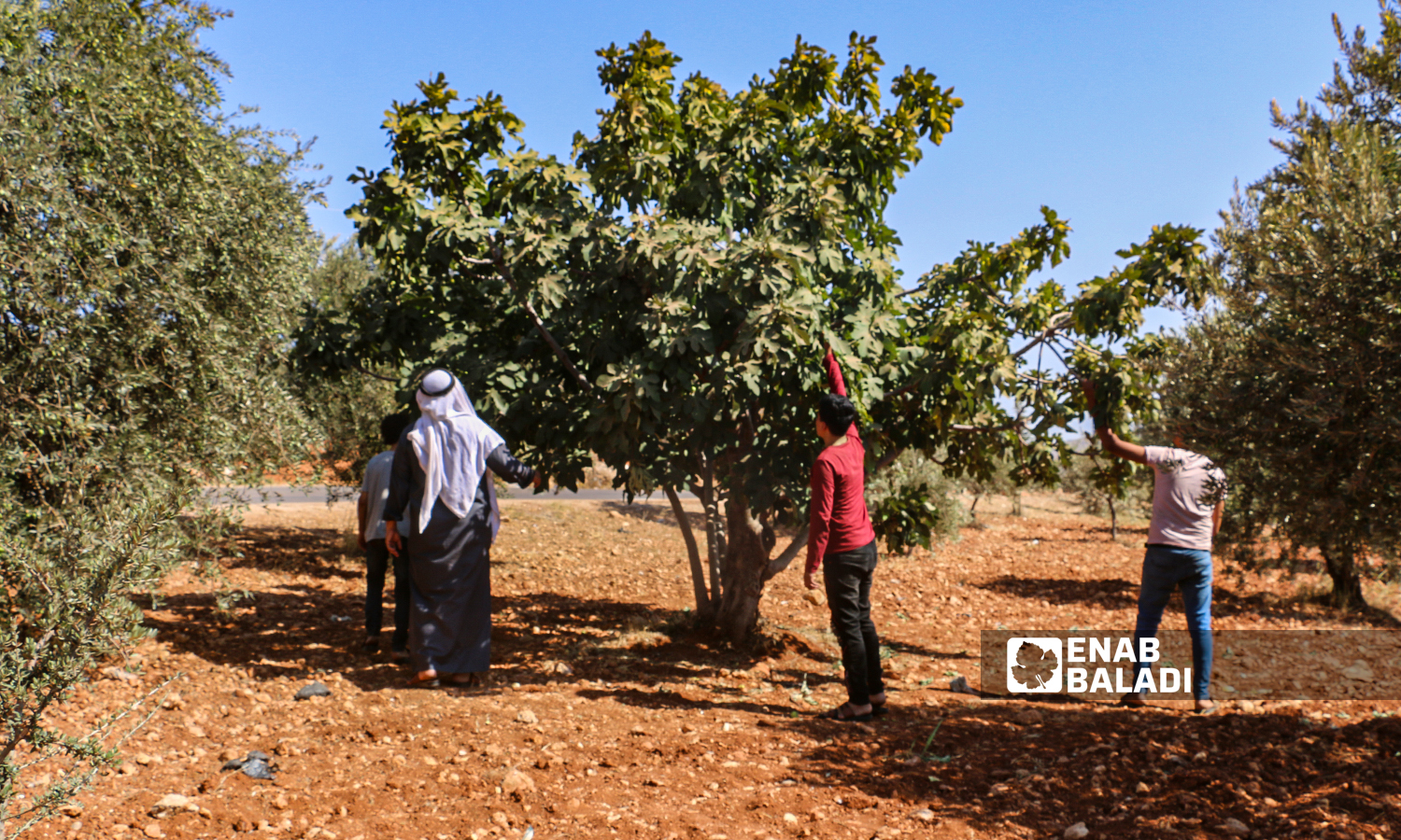 A farmer and his children pick up a tree in the town of Harbnoush in Idlib countryside on 31 July 2021(Enab Baladi-Iyad Abdel Jawad)