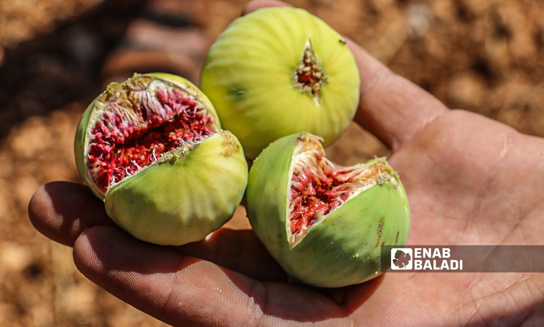 A new fig season begins in the town of Harbnoush in Idlib-31 July 2021 (Enab Baladi-Iyad Abdel Jawad)
