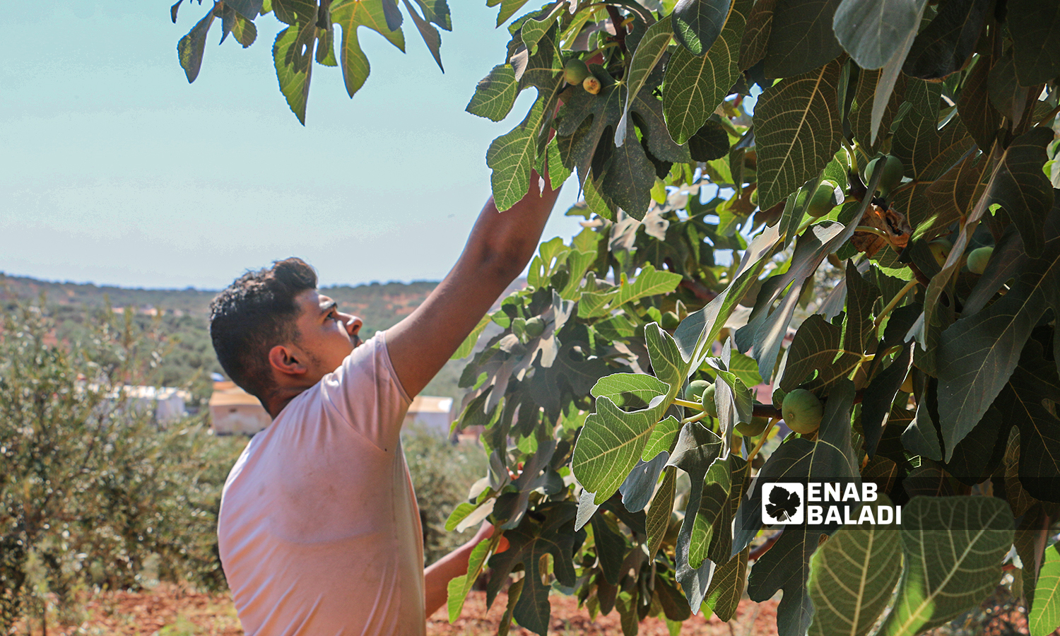 A farmer picks up a fig from a tree in a field in the town of Harbnoush in Idlib countryside on 31 July 2021 (Enab Baladi-Iyad Abdel Jawad)