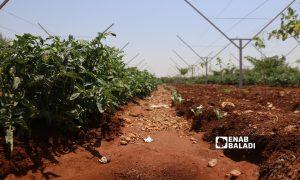Farmlands in the countryside of Aleppo, northern Syria- 17 August 2021 (Enab Baladi-Walid Othman)