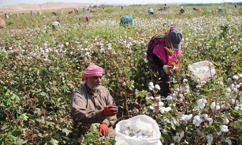 Cotton crops in Syria (al-Watan newspaper website)