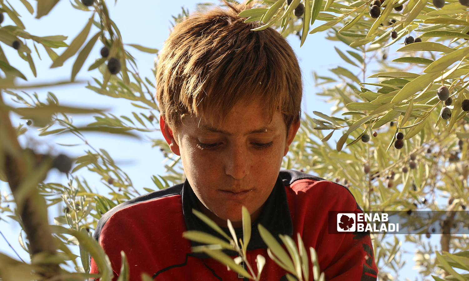 A child picking olives from an olive tree in the village of Kafr Arouq in Idlib countryside- 12 October 2021(Enab Baladi / Iyad Abdul Jawad)