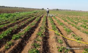 A farmer watering potato crops in the western Daraa countryside - 5 February 2021 (Enab Baladi / Halim Muhammad)